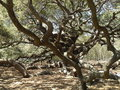 Levende eiken quercus van angel oak tree southern virginiana charleston south carolina Royalty-vrije Stock Afbeelding