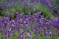 The levender violet field Royalty Free Stock Photo