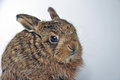 Leveret young leverets or european hare lepus europaeus also known as the brown hare Royalty Free Stock Images