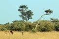 Lew para w trawie Obraz Stock
