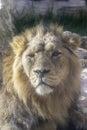 Lew spokojny spojrzenie Obrazy Royalty Free
