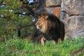 Lew w trawie Zdjęcia Royalty Free