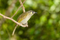Lewin s honeyeater queensland australia a single sitting on a perch Royalty Free Stock Image