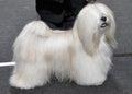 Lhasa Apso dog Royalty Free Stock Photo