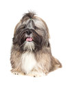 Lhasa Apso puppy Royalty Free Stock Photo
