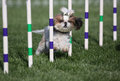 Lhasa apso running agility a dog through the course weaves Royalty Free Stock Photo