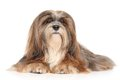 Lhasa apso on a white background portrait against Stock Photo