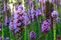 Liatris flower a korean in gyeongju korea Stock Photos