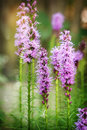 Liatris. Perennial flowers. Royalty Free Stock Photo