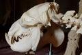 Liberian Hippo Skull