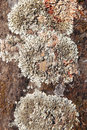 Lichen detail in a rock background in warm tone Royalty Free Stock Photo