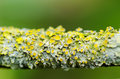 Lichen detail of a tiny plant covering a small twig Royalty Free Stock Photography