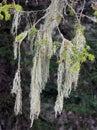 Lichen growing on pine tree hair like greek mountains Stock Photo