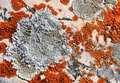 Lichen growing on rock Royalty Free Stock Photo