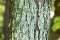The lichen of the lacquer tree Royalty Free Stock Photo
