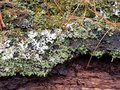 Picture : Lichen and Moss on Bark of a Downed Tree shotgun  to