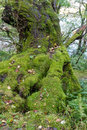 Lichen moss on old tree green generously growing base of Royalty Free Stock Images