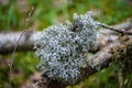 Lichen silver bunch clump moss detail close-up branch Royalty Free Stock Photo
