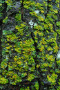 Lichen on tree bark Royalty Free Stock Photo