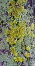 Lichen tree bark on the macro detail closeup Royalty Free Stock Images