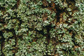 Lichen on Tree Close Up View Royalty Free Stock Photo