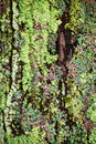 Lichen on tree trunk multicolored lichens growing bark of closeup Stock Image