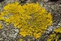 Lichen Xanthoria parientina on aspen tree bark macro, selective focus Royalty Free Stock Photo