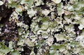 Lichens Royalty Free Stock Image