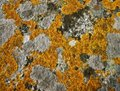 Lichens Stock Photos
