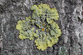 Lichens are actively growing on the trees in the parks of moscow russia organisms indicators to determine environmental conditions Stock Image