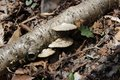 Lichens on log brown growing fallen in woods Royalty Free Stock Image
