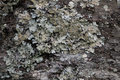 Lichens on the persimmon tree Royalty Free Stock Images