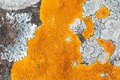 Lichens on rock close up of yellow map covering surface Royalty Free Stock Photography