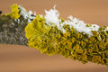 Lichens on tree yellow and snow branch of Royalty Free Stock Photography