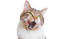 Licking cat with green eyes on isolated white Royalty Free Stock Photos