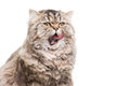 Licking grey persian kitten sitting on isolated white white Stock Photography