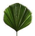 Licuala grandis or Ruffled Fan Palm leaf, Large tropical foliage, Pleated leaf isolated on white background