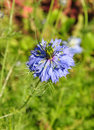 Liefde-in-a-mist (damascena Nigella) Royalty-vrije Stock Fotografie