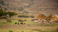 Life in the countryside cattle grazing near a small village hut with tatched roof sendafa area ethiopia Royalty Free Stock Images