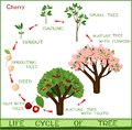 Life cycle of cherry tree with captions.