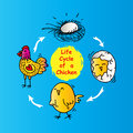 Life cycle of a chicken Royalty Free Stock Photo