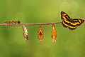 Life cycle of colour segeant butterfly hanging on twig Royalty Free Stock Photo