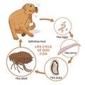 Life Cycle Of Dog Flea. Vector...