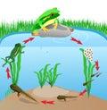 Life cycle european tree frog