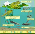Life cycle of frog Royalty Free Stock Photo