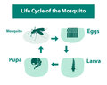 Life Cycle of the Mosquito in monochrome style