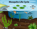 Life cycle of mosquito in the pond