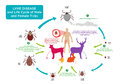 Life Cycle of Tick bug and Lyme Disease concept Royalty Free Stock Photo