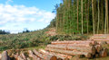 Life and Death contrast - Cut down trees next to living forest Royalty Free Stock Photo