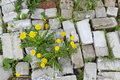 Life and flowers stronger than stone concept yellow dandelions grow through bricks Stock Photo